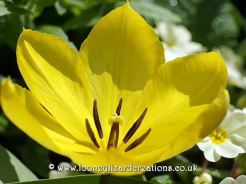 Close up of yellow tulip in spring